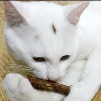Natural Catnip Chew Stick Treat